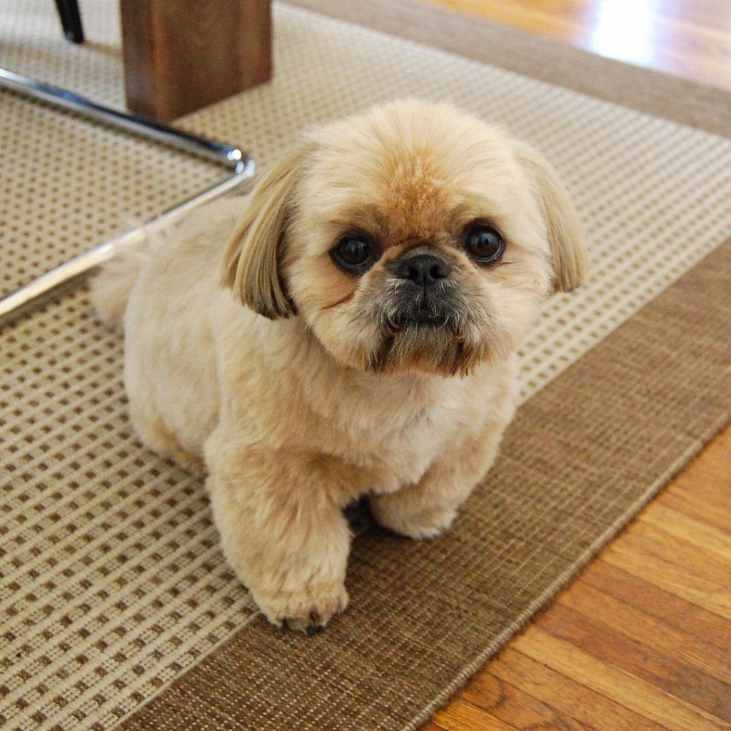 12 Surprising And Secret Ways Your Shih Tzu Says I Love You