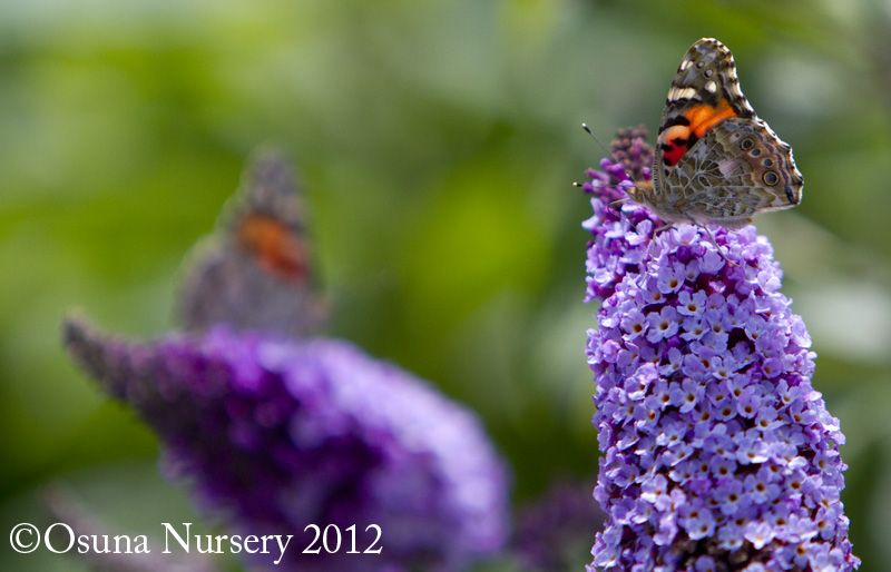 Butterfly bushes are a great to attract wildlife to your ...