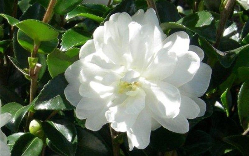 From The Southern Living Plant Collection Comes The October Magic Bride Camellia Noted For Its Dense Conical Plants Nursery Landscape Design Japanese Plants