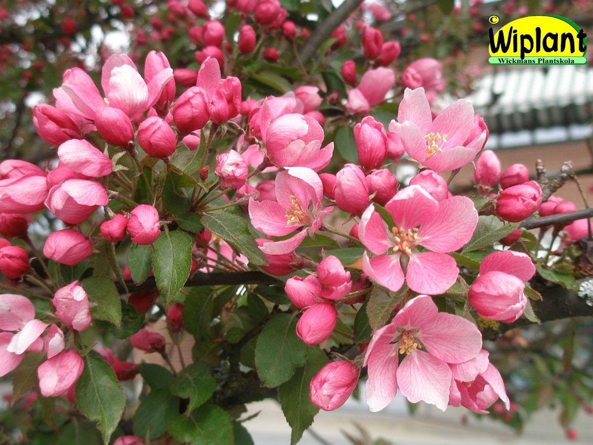 Malus 'Hopa', prydnadsäppel. Rosa blommor, rödgröna blad. Vanligaste sorten i Österbotten. Höjd: 4-6 m.