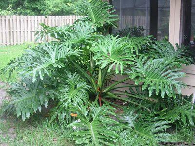 GUAIMBÊ (Philodendron bipinnatifidum) plantas para sombra