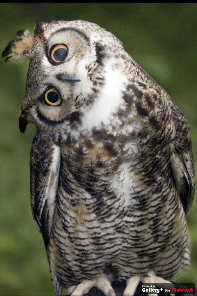 owl owl believe it when I see it! | Rapaci Diurni e Notturni