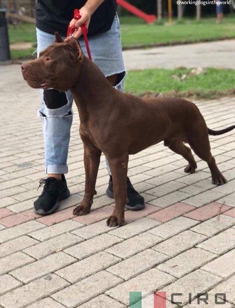 Ciro From Italy Ukc Pitbull Dog American Pitbull Terrier Dog