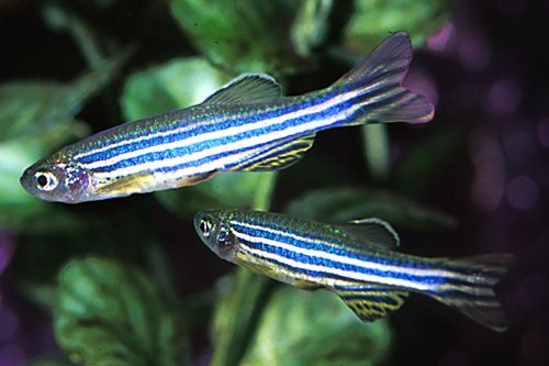 Danio Zebra - super active! Great little fish.