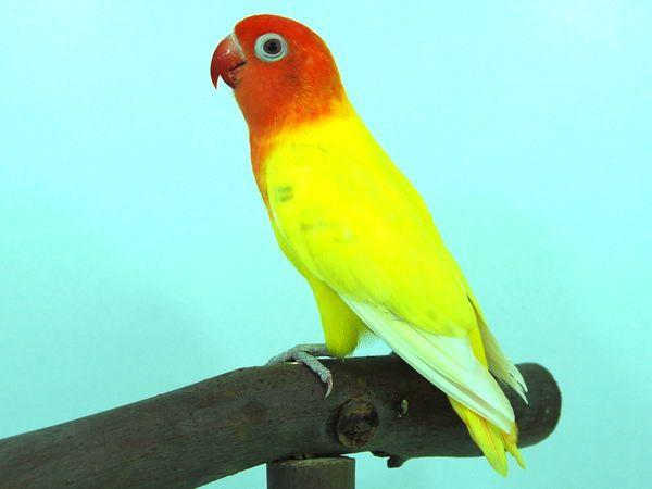 Agapornis Lilianae Lutino Burung