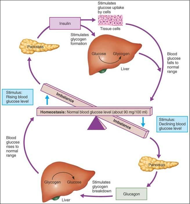 glucosehomeostasis blood sugar insulin cycle graphic