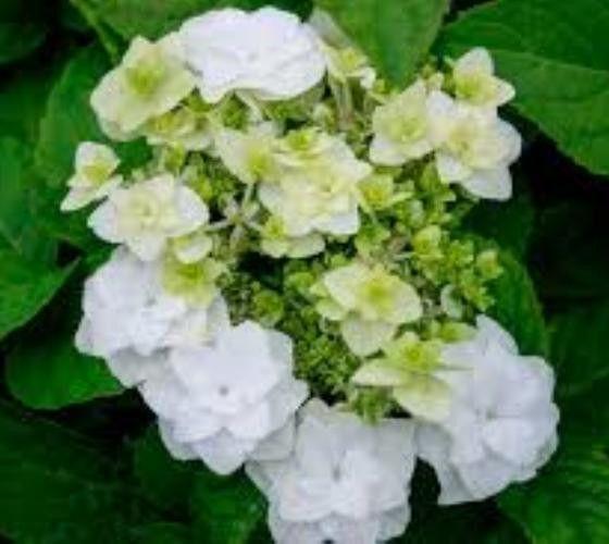 White Wedding Gown Hydrangea: Wedding Gown White Double Delights Hydrangea