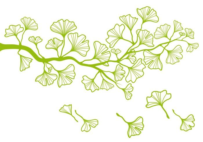 ginkgo tree branch with green leaves vector pixerstick