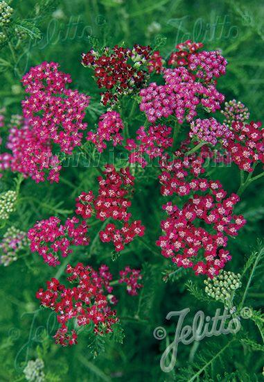 Image Of Achillea Cassis Achillea Millefolium Achillea Perennials