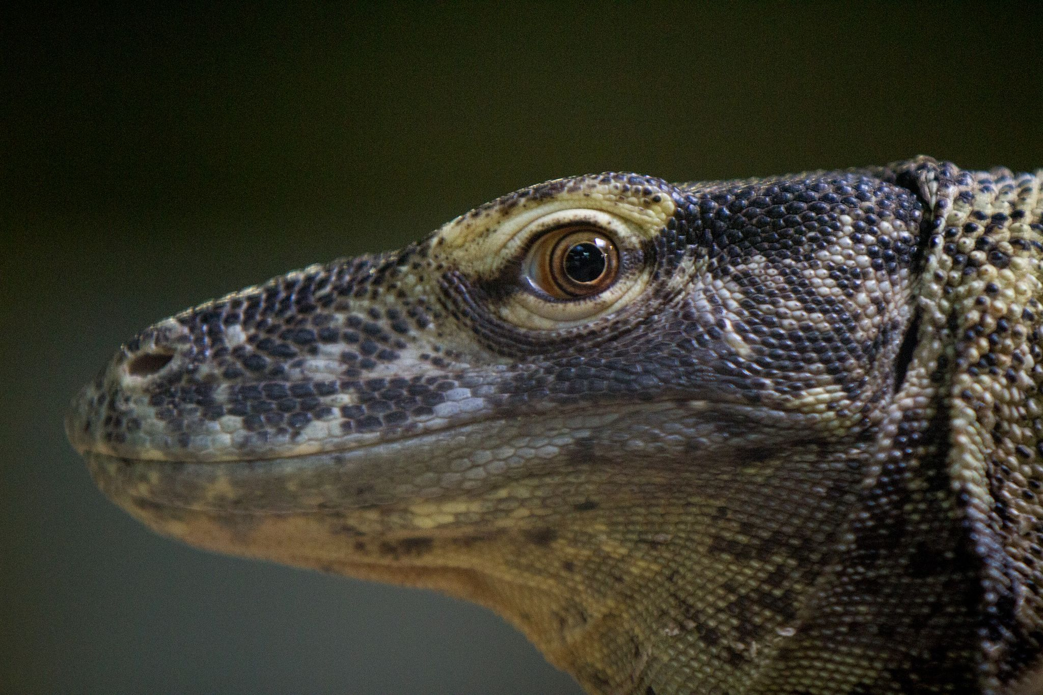 Komodo Dragon - null | Toads.Frogs,Snakes and Lizards | Pinterest ...