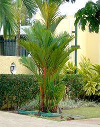 10 Pcs Seeds Lipstick Palm Cyrtostachys Renda Tree Red Sealing Wax Garden NEW Y