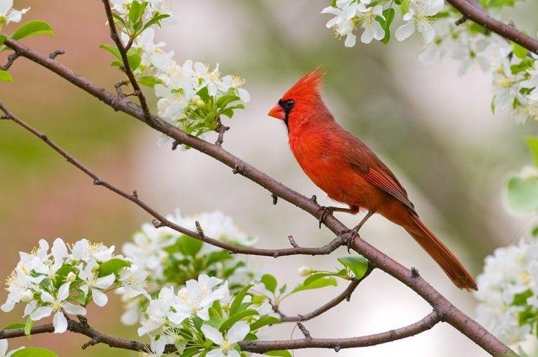11 animales con espectacular coloración | 5. Cardenal rojo | La Bioguía
