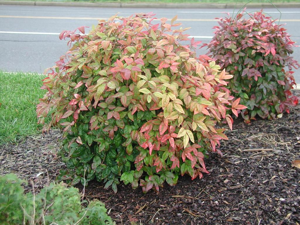 Nandina domestica neat o almost hardy plants for zone 5 for Flowering dwarf trees for landscaping