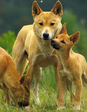 Dingo S In Peril Wild Dogs Australian Animals Animals Beautiful