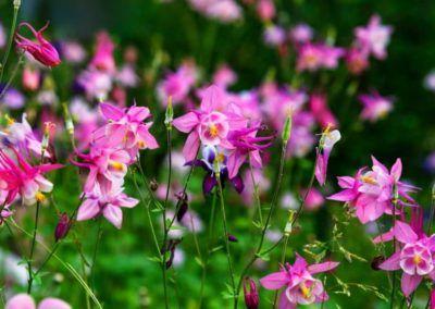 Akeleien – zauberhaftes Farbenspiel im Frühlingsgarten – Stilvolles Design – einfach gepflanzt