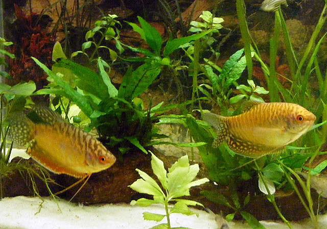 Gourami Fish Male Female Difference Aquarium Fish Fish Fish Pet