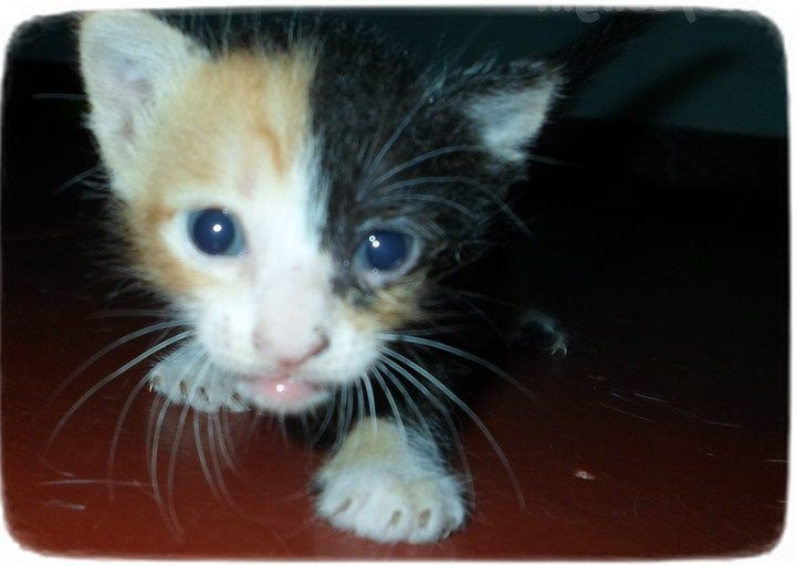 Chimera Cats For Adoption Cats Pet Photos Gallery Cat
