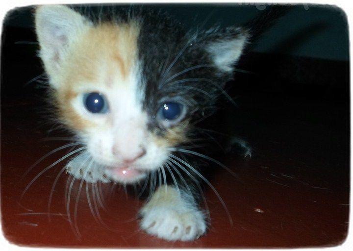 Chimera Cats For Adoption Cats Pet Photos Gallery Cat Adoption Animal Photo Cats