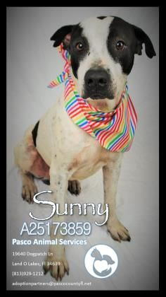 Adopt Sunny A Lovely 5 Years Dog Available For Adoption At Petango Com Sunny Is A Pointer Mix And Is Available At The Pasco County Adoption Dogs Animals
