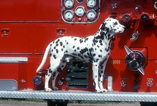 Firefighting Dog Firefighter Dalmatian Dogs Dogs