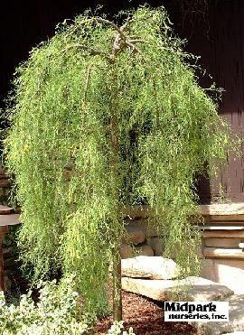 Weeping Siberian Peashrub Cool Plants Dry Garden Small Backyard Design