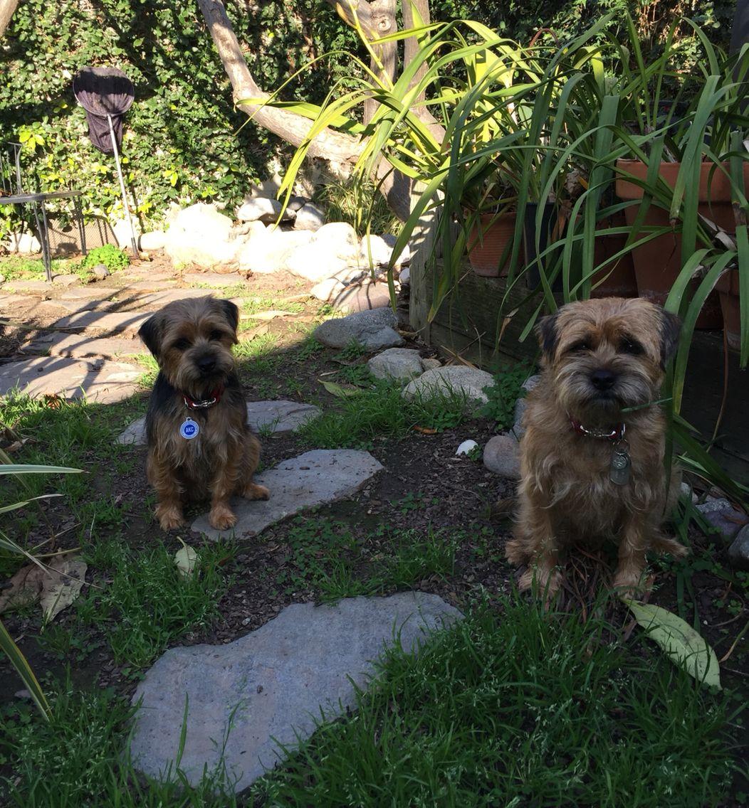 Jack The Border Terrier And Finn The Border Terrier In The Garden