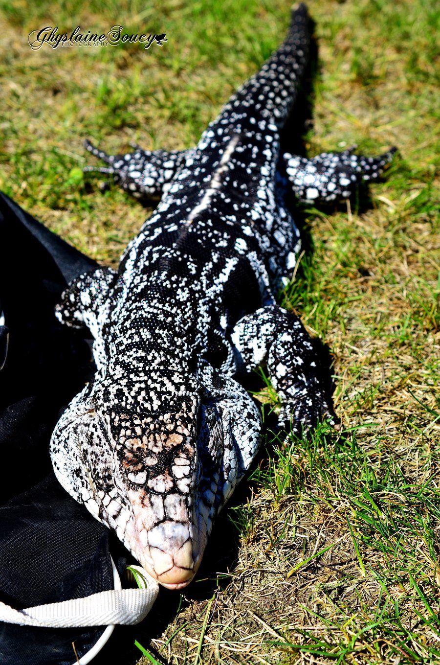 Black and White Argentine Tegu by gigi50 deviantart com | pets to