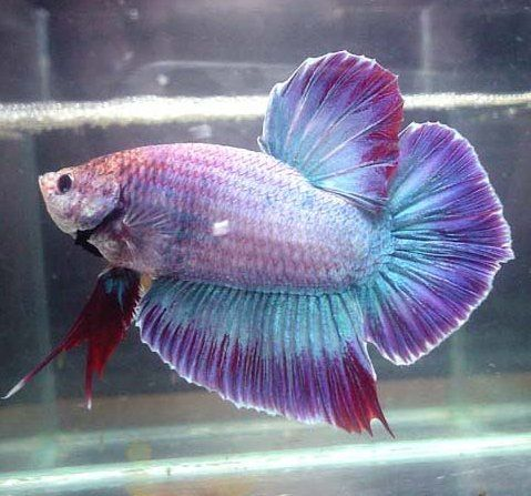 Giant Siamese Fighter Betta STUNNING PURPLE PLAKAT | betta