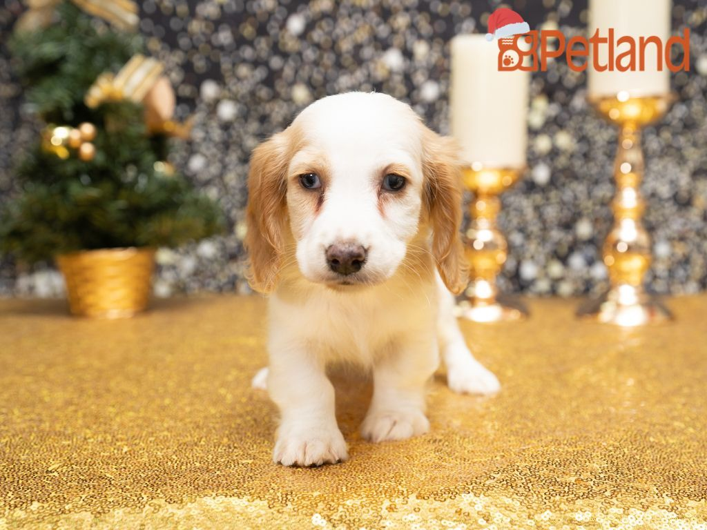 Puppies For Sale Dachshund puppies for sale, Dachshund