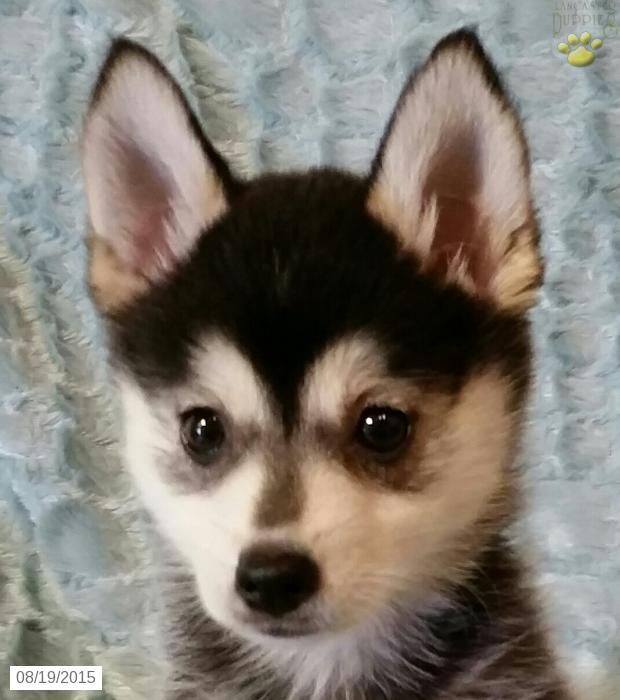 Pomsky Puppy for Sale in Ohio Pomsky puppies, Puppies