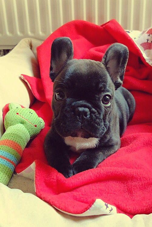 Hello From 9 Weeks Old French Bulldog Kiwi French Bulldog Puppies French Bulldog Bulldog