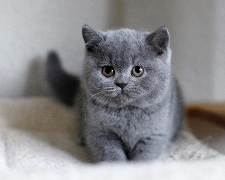 Chaton British Shorthair Bebe Chat Trop Mignon Cutest Kitten In 2020 Baby Katzen Katzen Kurzhaar Katzen