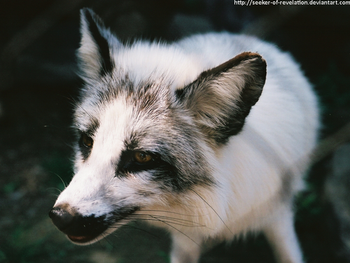 Gallery For Canadian Marble Fox Baby Arctic Fox Animal Intelligence Fox