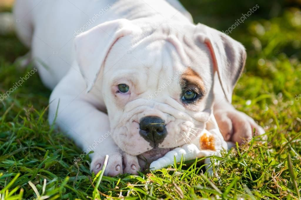 American Bulldog Puppy Is Eating A Chicken Paw On Nature Stock Photo Sponsored Puppy Eating In 2020 American Bulldog Puppies Bulldog Puppies American Bulldog