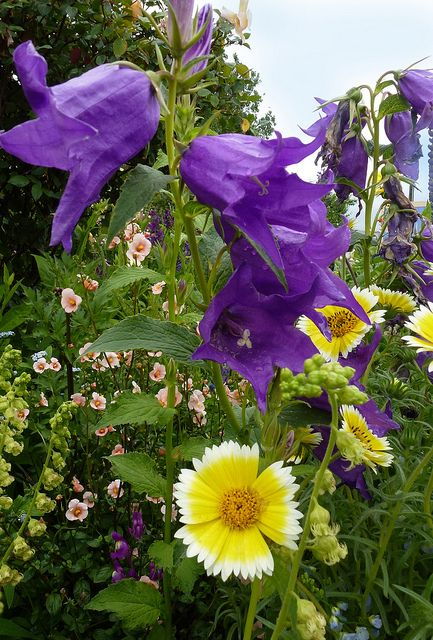 Campanula Latifolia Layia Platyglossa Tidy Tips Flowers Perennials Beautiful Gardens Purple Garden