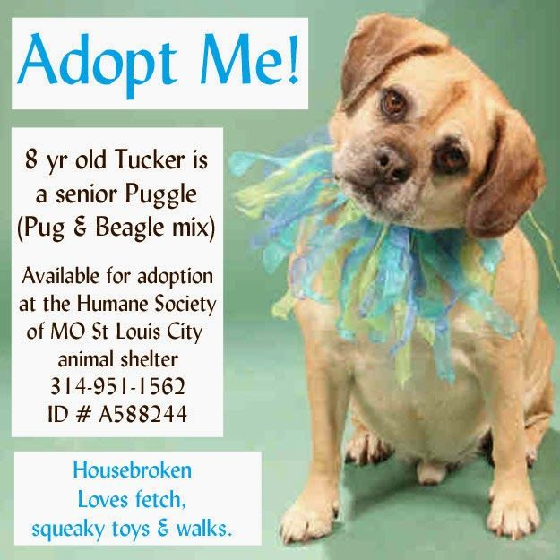 Adopt Tucker An 8 Yr Old Senior Puggle Dog In Missouri Beagle Pug Puggle Dogs Puggle Dog Adoption Quotes