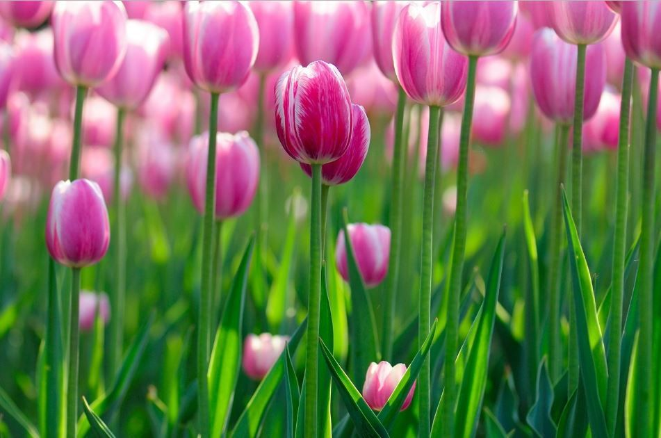 Tulip Wallpaper For Mobile Hd Flowers Pink Tulips Flower Wallpaper