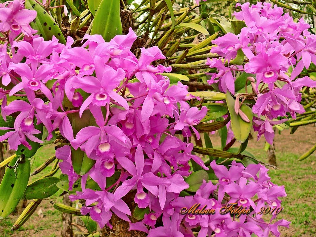 Guarianthe Skinneri The National Flower Of Costa Rica Plantae Orquideas Orquidea