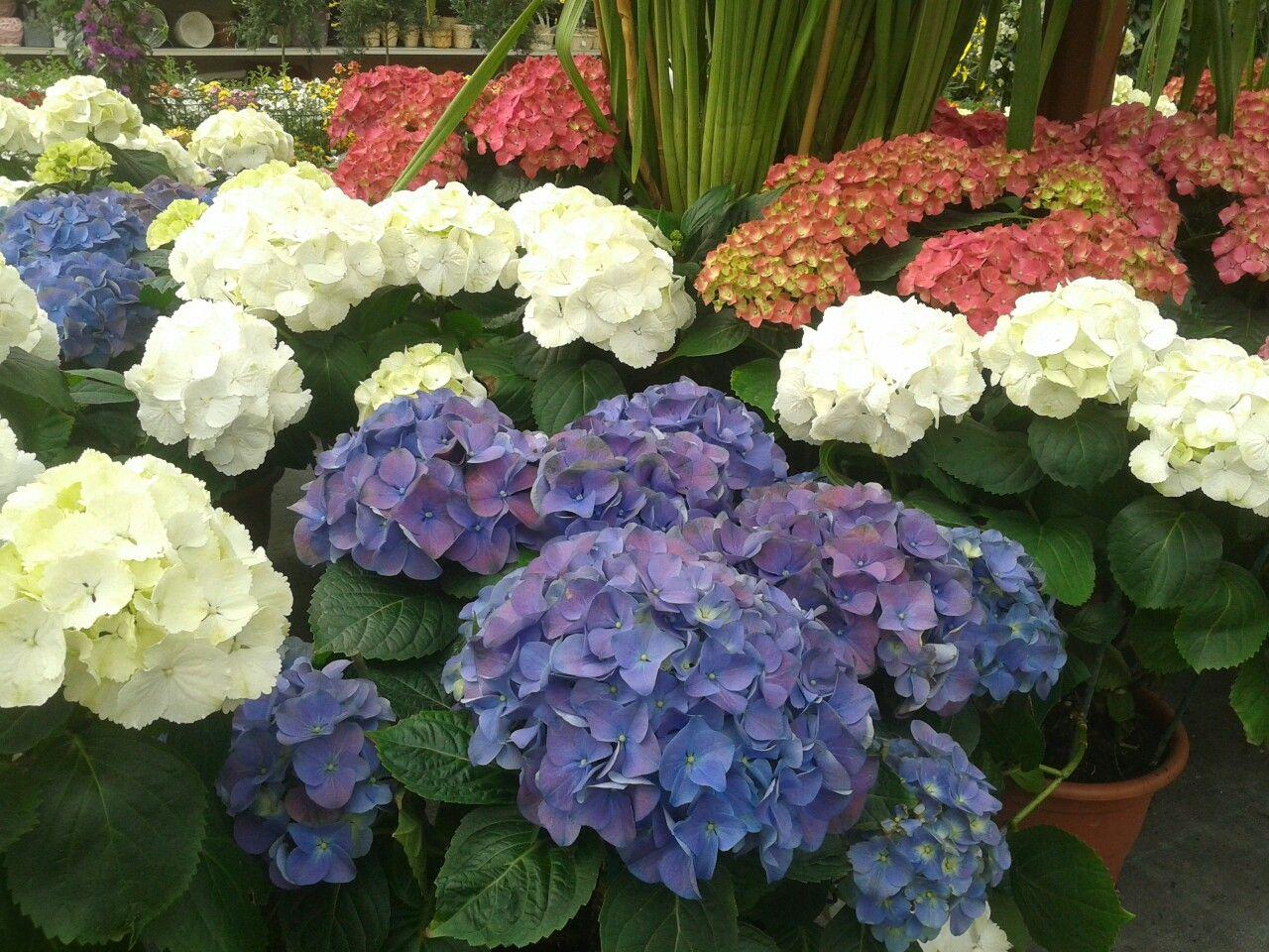 Come Far Fiorire Le Ortensie ortensie   ortensie e fiori