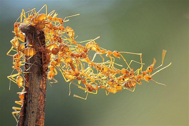Ants building a bridge in Mataram, Indonesia, on March 19 (© Adhi Prayoga/Solent News & Photo Agency)