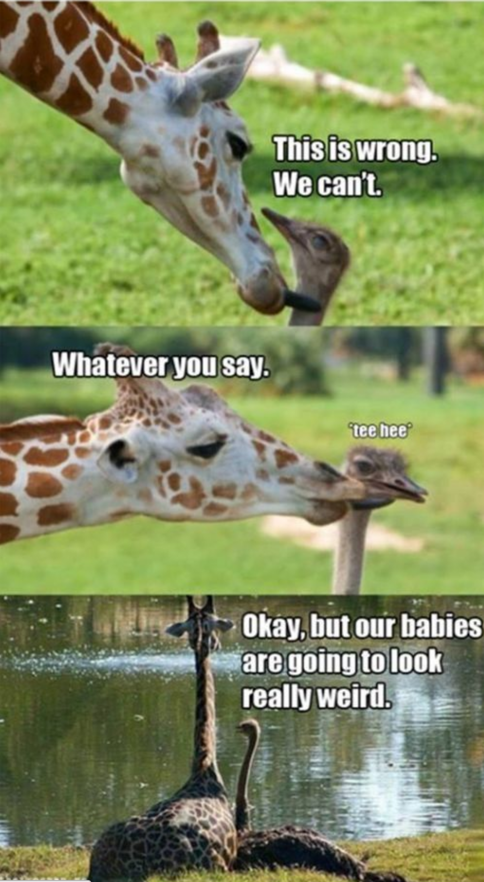 giraffe - ostrich - love each other - animal meme ...