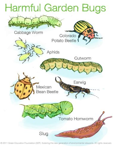 Common Harmful Garden Insects