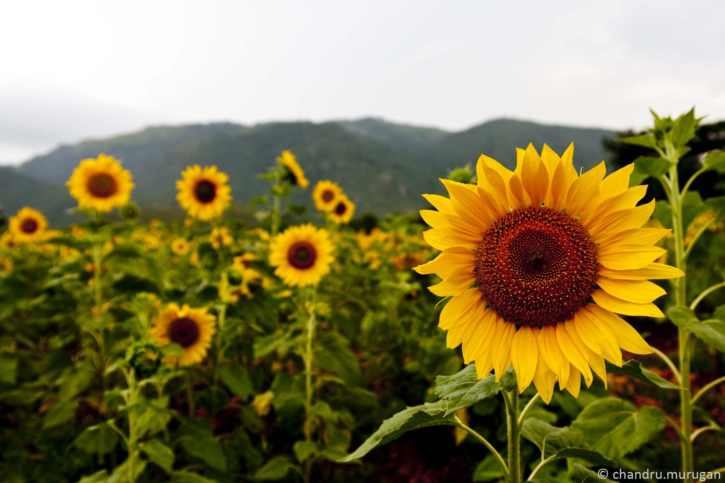 sunflower   Single Sunflower Photography Hd Images 20 HD Wallpapers ...