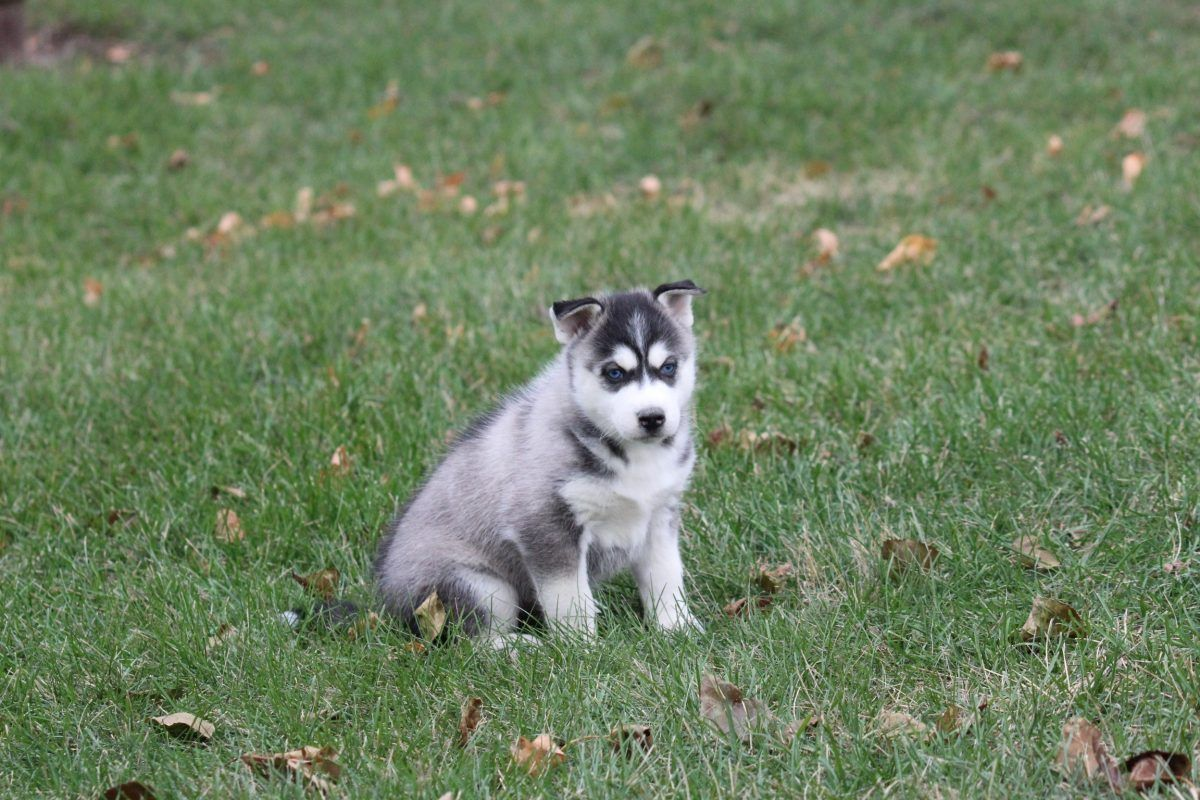 Frost Adopt Siberian Husky S For Sale At Vip Puppies