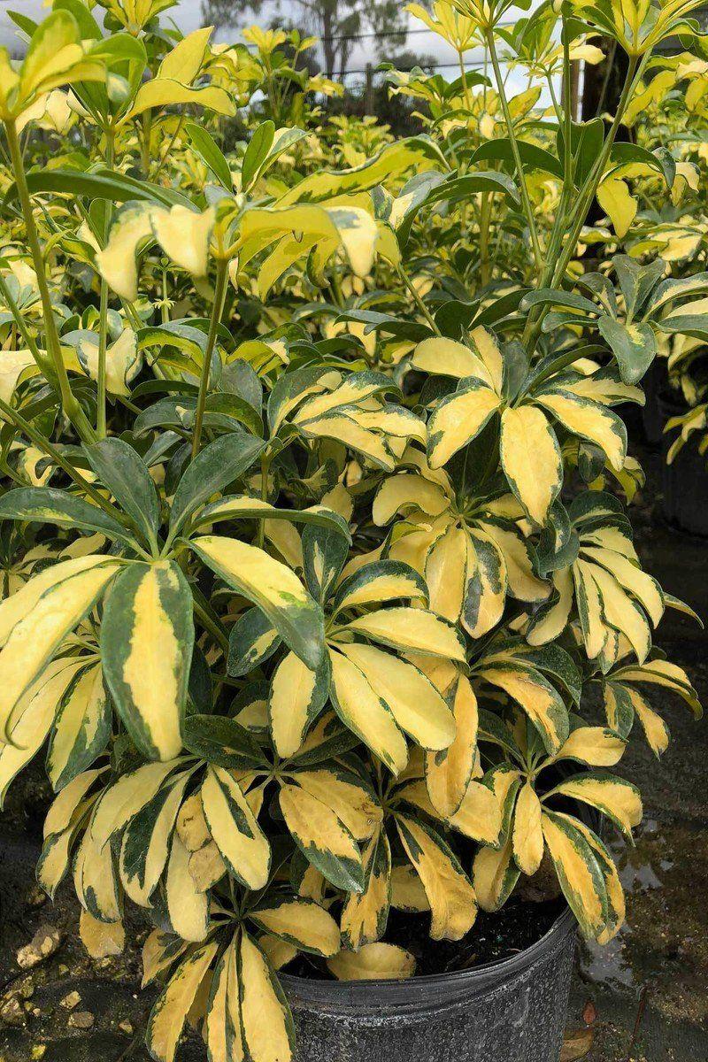 NO CALIFORNIA Schefflera Arboricola Umbrella Plant