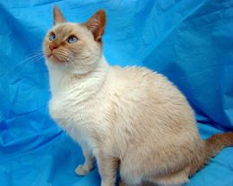 Penny Is An Adoptable Siamese Cat In Bellingham Ma To Request More Information About Penny Click Here To Adopt Pen Siamese Cats Pet Adoption Cutie Patootie