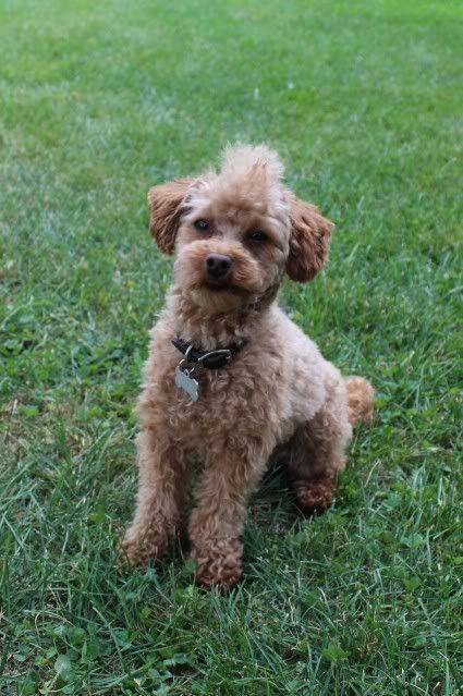 Golden Retriever Haircut Pet Grooming