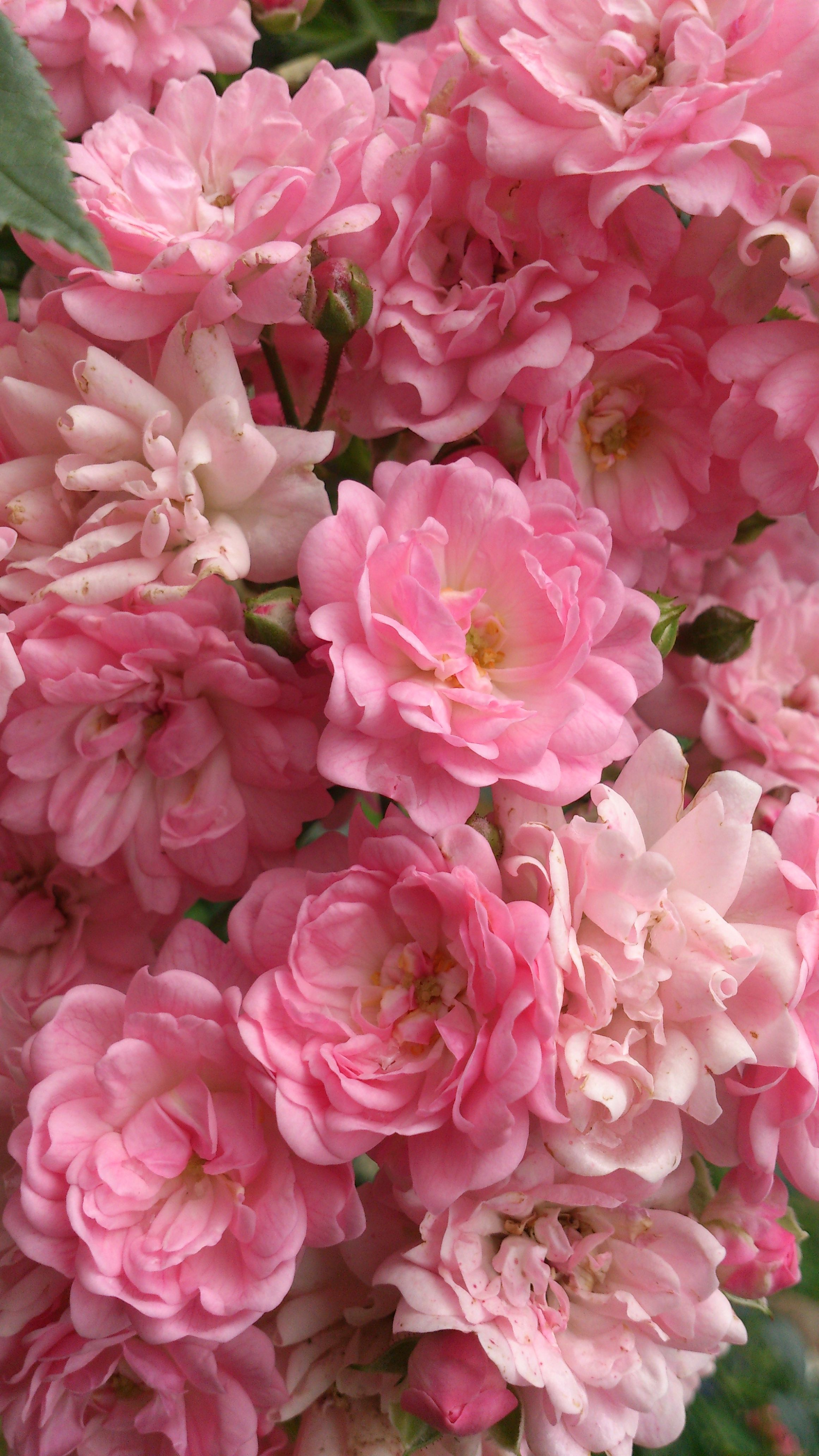 Roses in bloom | Garden services, Flowers