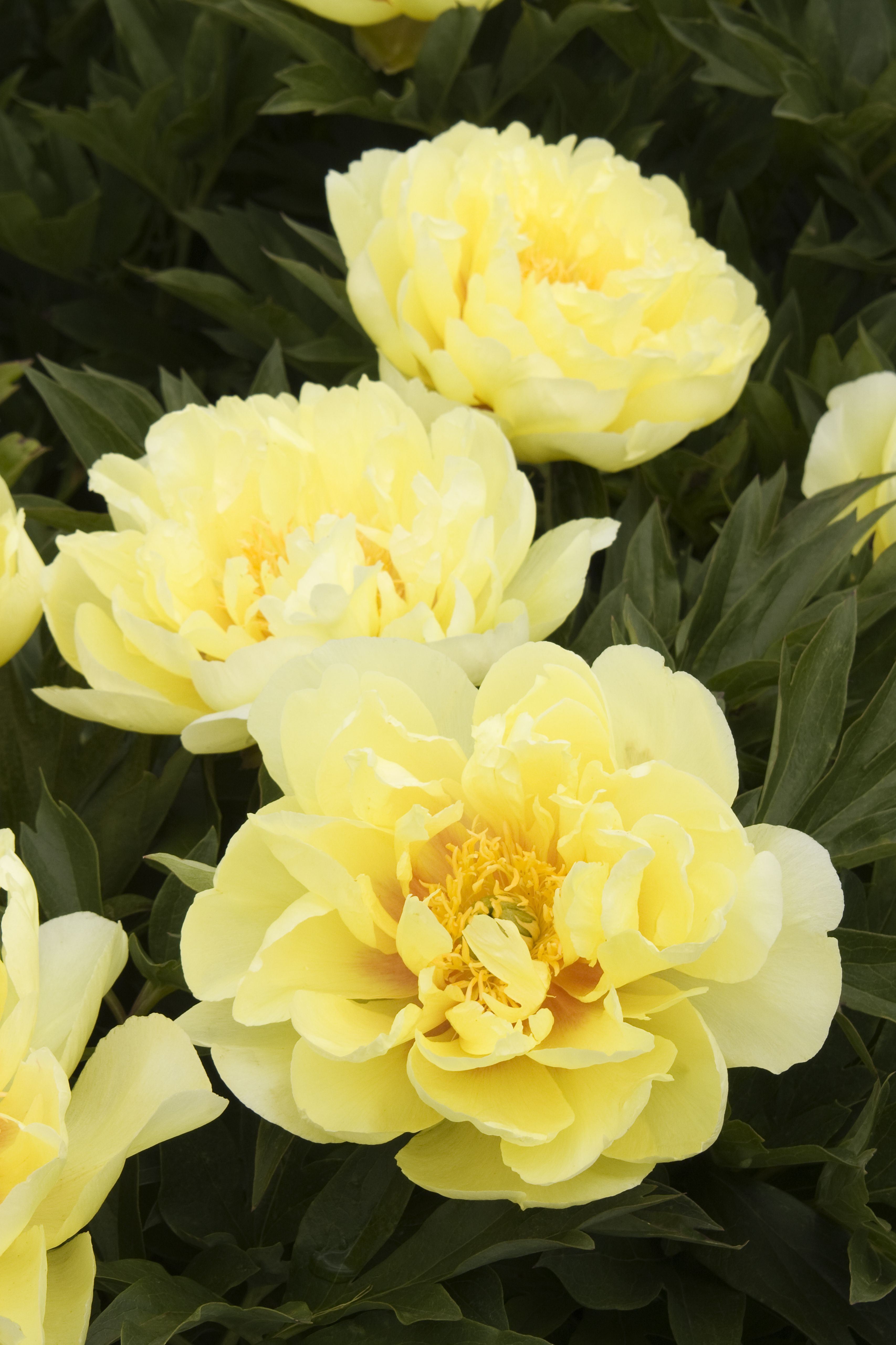 Bartzella Itoh Peony Has Very Large Bright Yellow Double Blossoms
