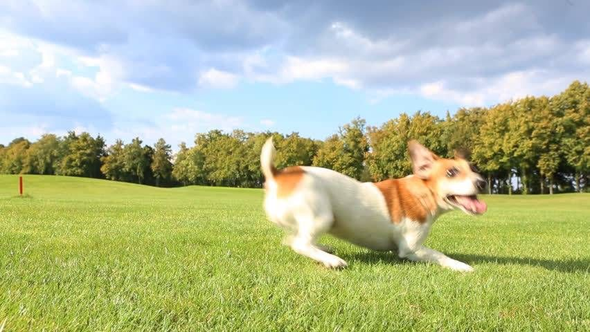 Pretty Funny Dog Jack Russell Stock Footage Video 100 Royalty